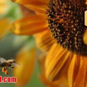 گرده گل عسل